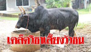 วัวชนออนไลน์